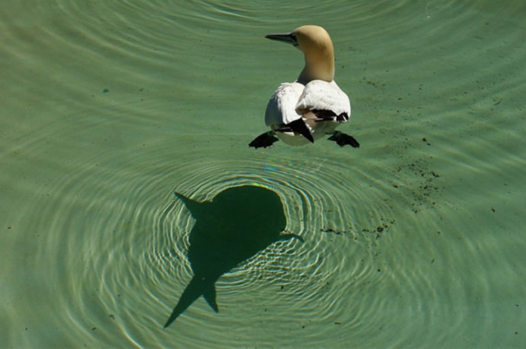 Duck swimming in water with shadow (no longer scary) below